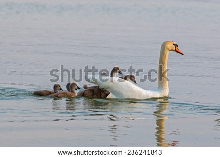 Close up of a swan family at sunset light - stock photo
