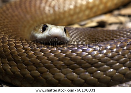 Close up of a Taipan's head and body - One of the most poisonous snakes in Australia.  they have a short temper and will defend themselves with lightening fast strikes - stock photo