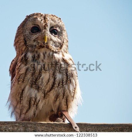 Close up of a Tawny Owl - stock photo