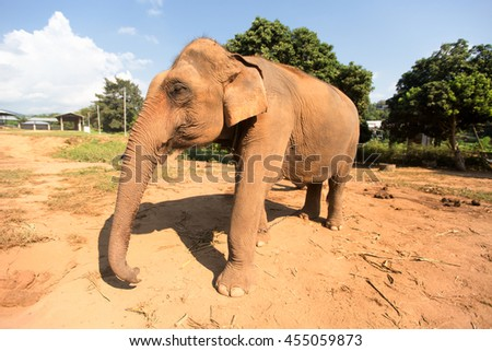 Close-up of a Thailand Elephant eating green grass. - stock photo