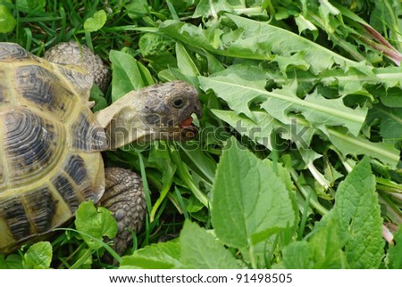 Close-up of a tortoise eating fresh grass - stock photo