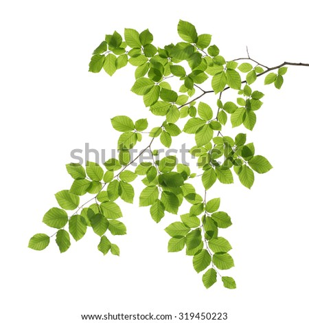 Close up of a tree branch isolated on white background - stock photo