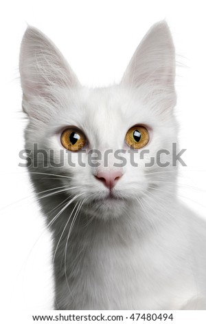 close up of a Turkish Angora (18 months old) in front of a white background - stock photo