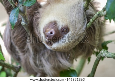 Close up of a two toed sloth hanging in tree - stock photo