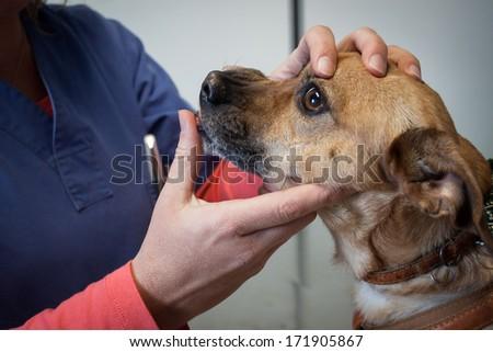 Close up of a veterinarian examining a dog's teeth - stock photo