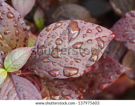 Close up of a water drops on purple leaves - stock photo