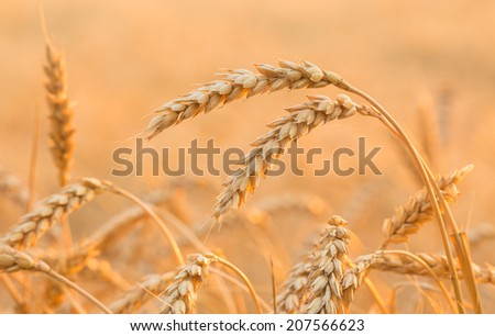 Close up of a wheat field - stock photo - stock photo