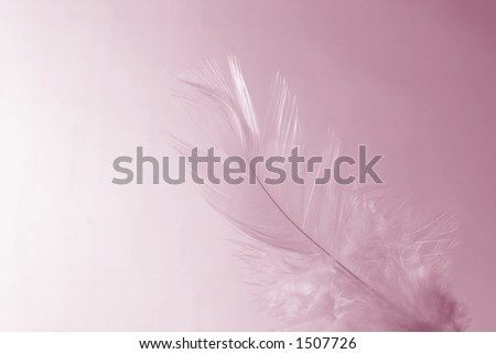 Close-up of a white feather on a white pink background. Macro photograph: shallow depth of field! - stock photo