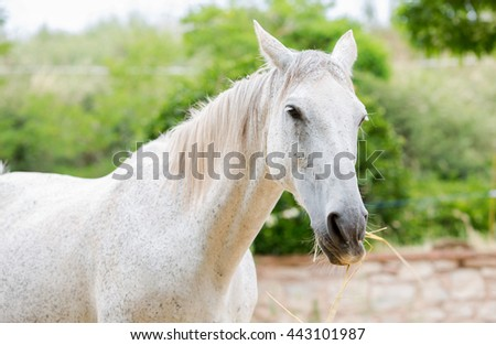 Close-up of a white horse eating straw - stock photo