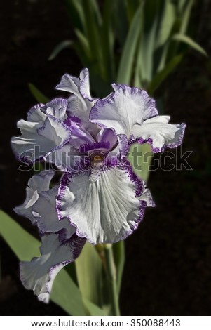 Close up of a white iris with purple edges on a black background - stock photo