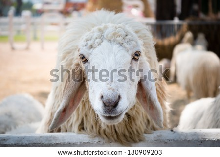 Close up of a white sheep in sheep farm - stock photo