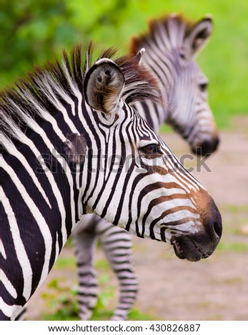 Close up of a wild African Zebra - stock photo
