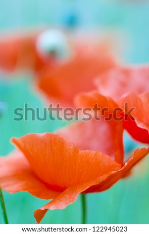 Close up of a wild poppy flower on a meadow - stock photo