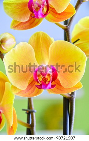 Close-up of a yellow orchid with pink spots - stock photo
