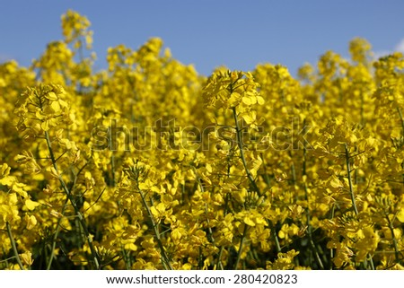 Close-up of a yellow rape field in blossom - stock photo
