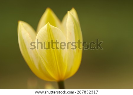 Close-Up of a Yellow Tulip - stock photo