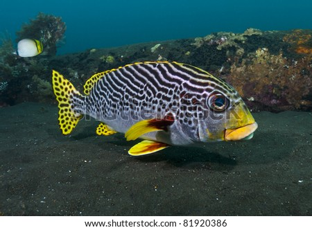 Close-up of a yellowbanded Sweetlips on the Liberty Wreck, Tulamben, Bali - stock photo