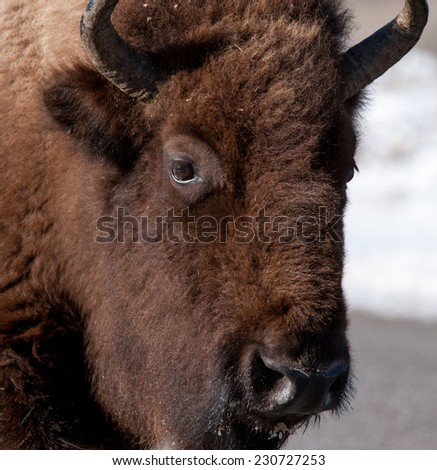 Close up of a young bison in Yellowstone National Park - stock photo