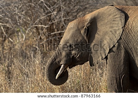 close up of a young Elephant - stock photo