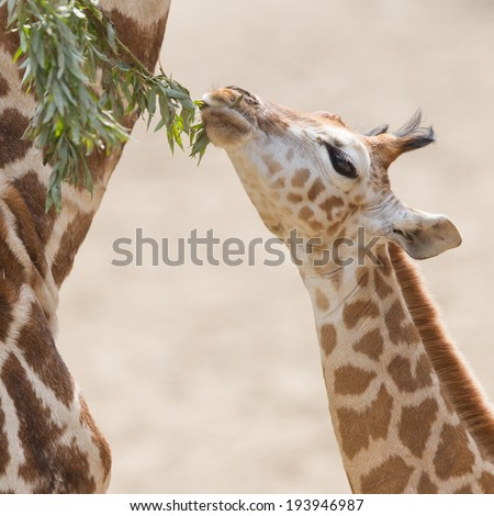 Close up of a young giraffe eating leaves - stock photo