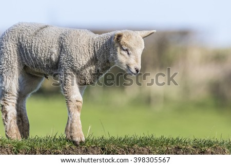 Close up of a young lamb looking down a river bank - stock photo