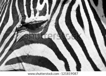 Close up of a zebra eye - stock photo