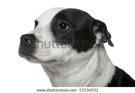 Close-up of American Staffordshire Terrier mixed with a Border Collie, 9 months old, in front of white background - stock photo