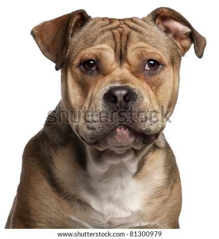 Close-up of American Staffordshire Terrier, 9 months old, in front of white background - stock photo