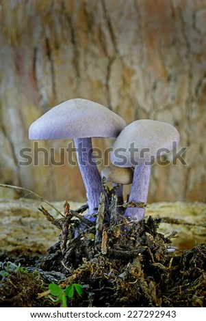 Close up of Amethyst Deceiver mushrooms (Laccaria amethystina) growing in leaf mold. These tiny fungi are edible and grow mostly in late summer and autumn. - stock photo
