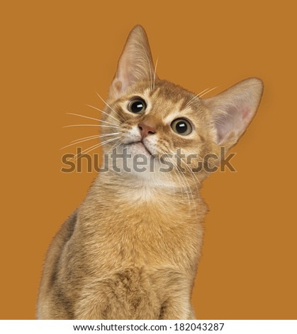 Close-up of an Abyssinian kitten looking up, 3 months old, on orange background - stock photo