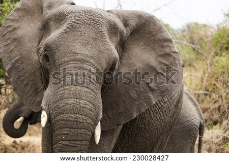 Close up of an african elefant, South Africa. - stock photo