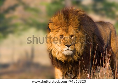 Close-up of an african lion - staring at the sunset - stock photo