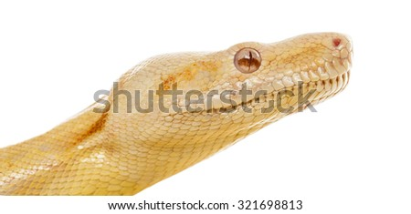 Close-up of an Albino royal python in front of a white background - stock photo