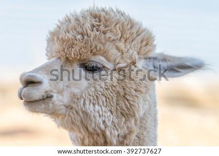 Close up of an alpaca - stock photo