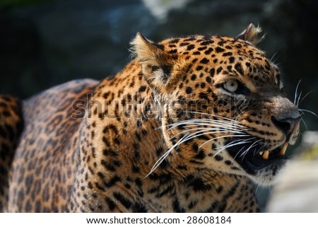 close-up of an angry leopard - stock photo