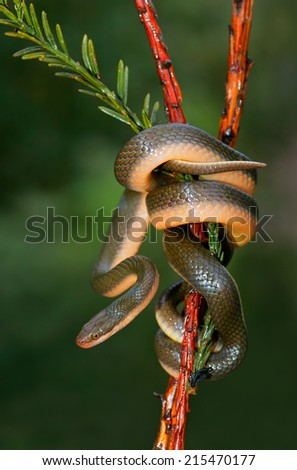 Close-up of an Aurora house snake (Lamprophis aurora), South Africa - stock photo
