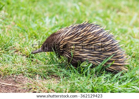 Close up of an Echidna (Tachyglossidae), seen in NSW Australia - stock photo