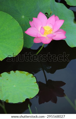 Close-up of an elegant pink lotus flowers blooming among lush leaves in a pond - stock photo
