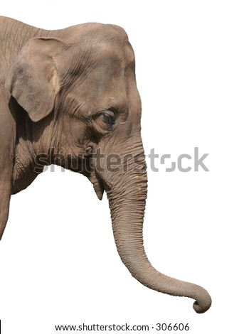 Close up of an elephants head isolated - stock photo