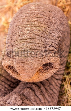 Close up of an elephants trunk - stock photo