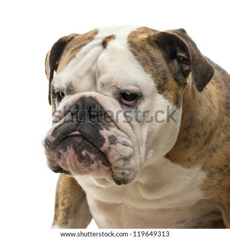 Close-up of an English Bulldog, 4 years old, looking away against white background - stock photo