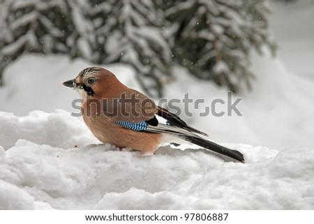 Close-up of an Eurasian Jay sitting in the snow - stock photo