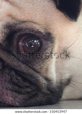 close up of an eye of a small white pug with expression of thinking, lonely, sad, wisdom, waiting, visionary - stock photo