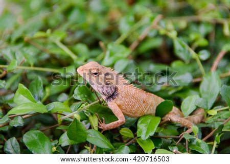 Close up of an Indian Lizard (Chameleon) - stock photo