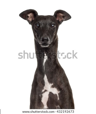 Close up of an Italian Greyhound, Piccolo Levriero Italiano, isolated on white - stock photo