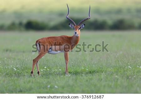 Close up of an male Impala gazelle in Masai Mara, Kenya - stock photo