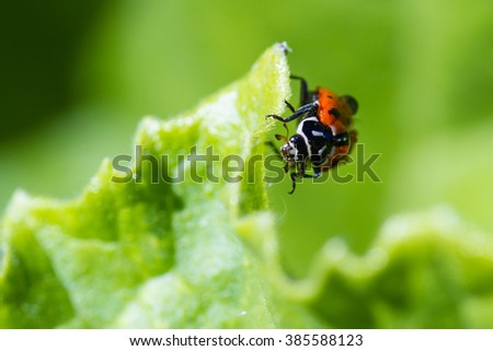 close up of an orange ladybug with water drops on it standing on a green leaf for contrast - stock photo