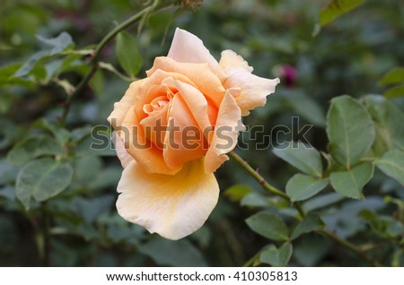 Close up of an orange rose with selective fosucing - stock photo