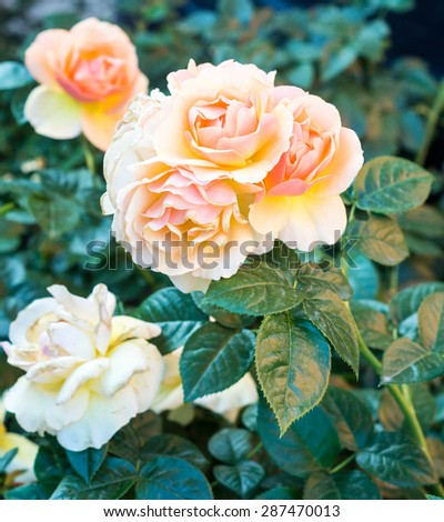Close up of an orange yellow rose in the garden - stock photo