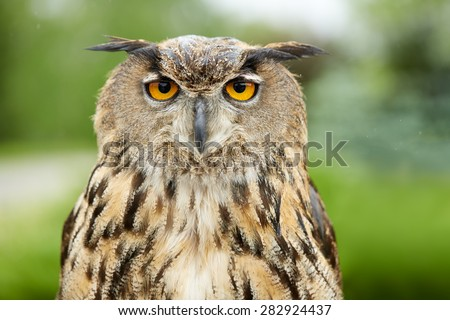 Close up of an owl - stock photo